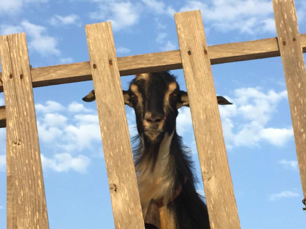 Koufonisia Travel Guide Goat Keros