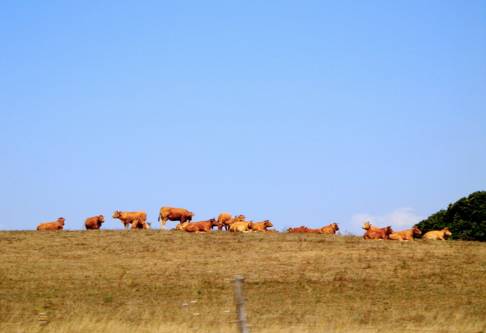 portugal road trip road trip portugal - cows in Alentejo