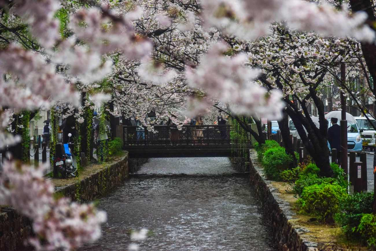 Kyoto things to do japan cherry blossoms sakura
